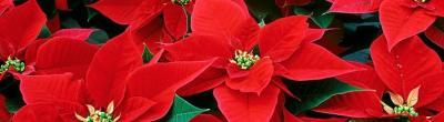 foto flors de Nadal