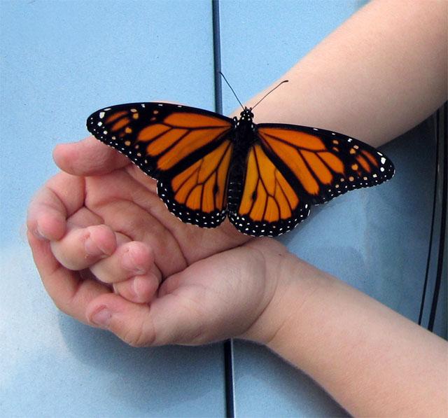 Imatge d'una papallona a sobre d'unes mans infantils