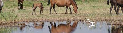 Cavalls vora del riu al Remolar